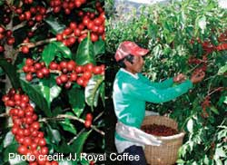 picking coffee in indonesia