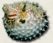 tropical puffer fish indonesia